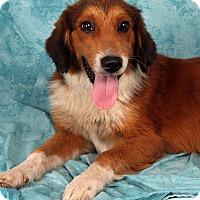 Adopt A Pet :: Geoff Shep - St. Louis, MO