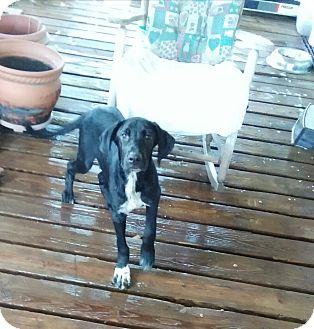 Labrador Retriever/Great Dane Mix Puppy for adoption in springtown, Texas - marmaduke