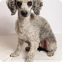Adopt A Pet :: Ingot Poodke - St. Louis, MO