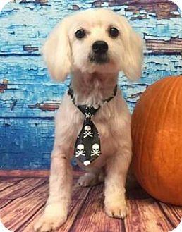 Maltese Mix Dog for adoption in Centerville, Georgia - Jo Jo