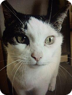 Domestic Shorthair Cat for adoption in Chula Vista, California - Samantha