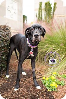 Great Dane Dog for adoption in Huntersville, North Carolina - Riley