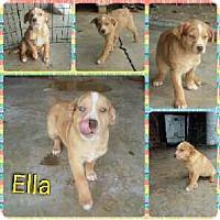 Adopt A Pet :: Ella meet me 1/20 - Manchester, CT