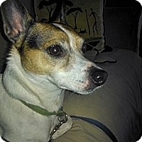 Rat Terrier Mix Dog for adoption in Irvine, California - Mardi