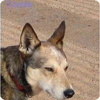 Adopt A Pet :: Wiley Coyote - Phoenix, AZ