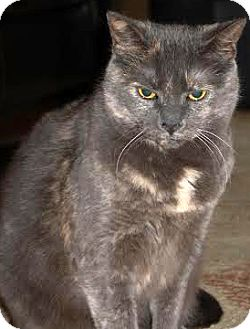 Domestic Shorthair Cat for adoption in Plainville, Massachusetts - Torti