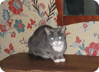 American Shorthair Cat for adoption in Brooklyn, New York - Lucky