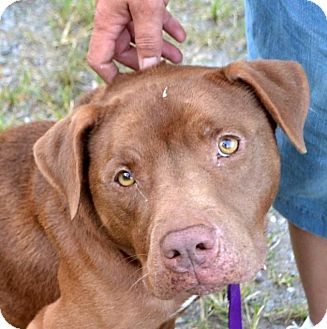 Pit Bull Terrier Mix Dog for adoption in Bakersville, North Carolina - Diesel