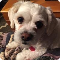 Adopt A Pet :: Cosmo Kramer - Worcester, MA