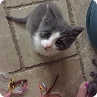 Adopt A Pet :: Ari - Sterling Hgts, MI