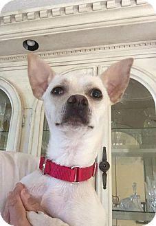 Chihuahua/Whippet Mix Dog for adoption in Atlanta, Georgia - Cooper