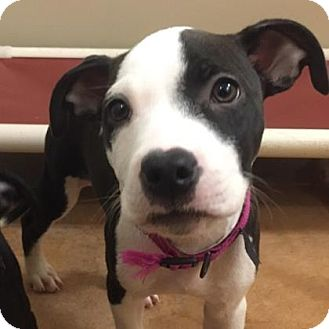 Pit Bull Terrier Mix Puppy for adoption in Philadelphia, Pennsylvania - Petey