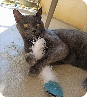 Russian Blue Cat for adoption in Umatilla, Florida - Hope