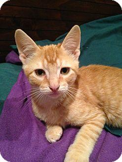 Domestic Shorthair Kitten for adoption in Houston, Texas - Cuddles