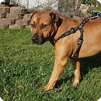 American Bulldog/Black Mouth Cur Mix Dog for adoption in South Haven, Michigan - Elias