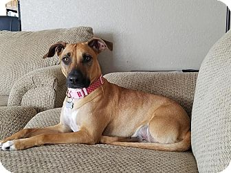 Black Mouth Cur Mix Dog for adoption in DeForest, Wisconsin - Baby Love