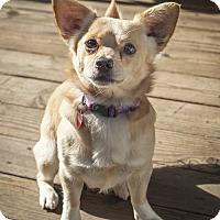 Adopt A Pet :: Boomer - St Helena, CA