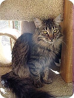 Domestic Mediumhair Cat for adoption in Toluca Lake, California - Dervla