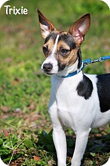 Rat Terrier Mix Dog for adoption in Wilmington, Delaware - TRIXIE