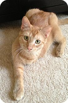 Domestic Shorthair Cat for adoption in San Antonio, Texas - Triple