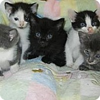 Adopt A Pet :: Itty Bitty Kitties - Antioch, IL