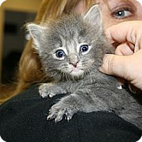 Adopt A Pet :: Whispurr - Washington Terrace, UT