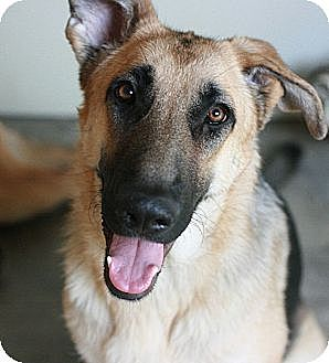 German Shepherd Dog Dog for adoption in Canoga Park, California - Kyra