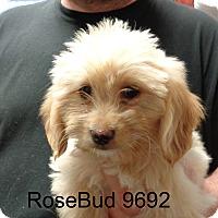 Adopt A Pet :: Rosebud - baltimore, MD