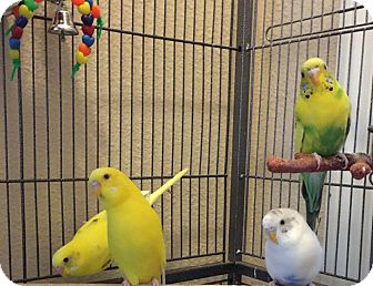 Parakeet - Other for adoption in Tampa, Florida - Huey, Dewey, Louie & Donald