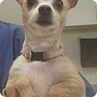 Adopt A Pet :: Gracie - Las Vegas, NV