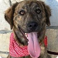 Adopt A Pet :: Sasha - Canoga Park, CA