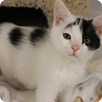 Adopt A Pet :: Patches - Medina, OH
