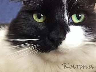 Domestic Mediumhair Cat for adoption in Morgan Hill, California - Karma