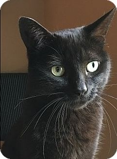 Domestic Shorthair Cat for adoption in Naperville, Illinois - Eva- $65 - ASKS FOR ATTENTION