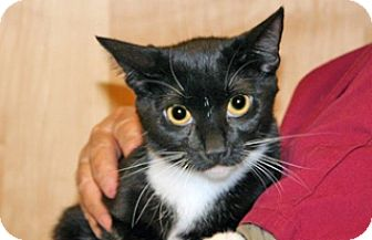 Domestic Shorthair Cat for adoption in Wildomar, California - Patty