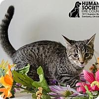 Domestic Shorthair Kitten for adoption in Sandusky, Ohio - MONICA
