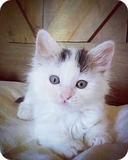 Domestic Mediumhair Kitten for adoption in San Jose, California - Kodiak *SPONSOR ME*
