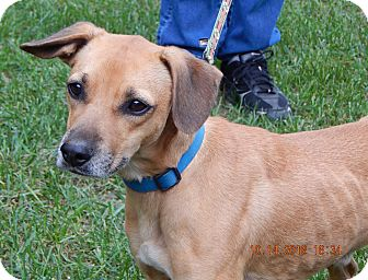 Beagle/Retriever (Unknown Type) Mix Dog for adoption in SUSSEX, New Jersey - Voyager(22 lb) Sweetest Ever!