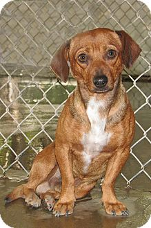 Dachshund Mix Dog for adoption in Ruidoso, New Mexico - Joe