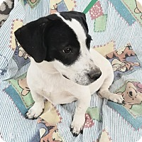 Basset Hound/Labrador Retriever Mix Puppy for adoption in Manchester, New Hampshire - Pepper
