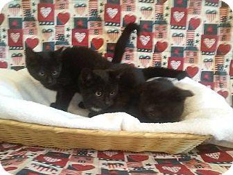Domestic Shorthair Kitten for adoption in Columbia, Kentucky - Black Kittens