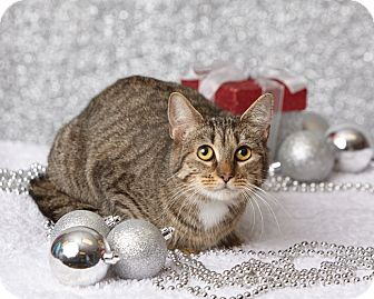 Domestic Shorthair Cat for adoption in Harrisonburg, Virginia - Slinky