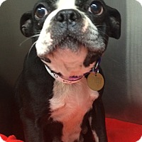 Adopt A Pet :: Trixie - Oak Ridge, NJ