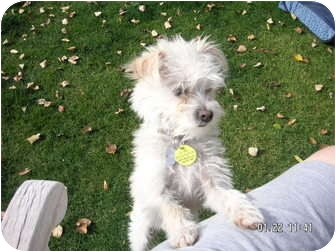 Jack Russell Terrier Puppy for adoption in Phoenix, Arizona - PRINCE