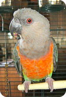 Parrot - Other for adoption in Fort Worth, Texas - Peanut