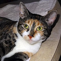 Domestic Shorthair Cat for adoption in Palm City, Florida - Osceola