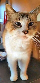 Snowshoe Cat for adoption in El Cajon, California - Baby
