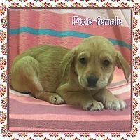 Adopt A Pet :: Pixie (etaa) - Hagerstown, MD