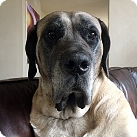 Mastiff/English Mastiff Mix Dog for adoption in Broomfield, Colorado - Bertha