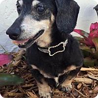 Dachshund Dog for adoption in Weston, Florida - Humphrey